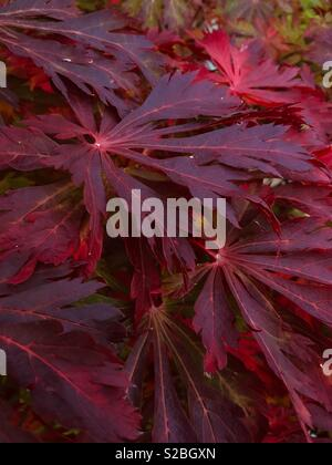 Acer Aconitifolium leaves turn a wonderful deep red in autumn. - Stock Image