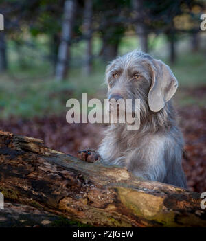 Portrait of a Slovakian Rough Haired Pointer dog, sat by a old rotten tree in woodland on a winter afternoon - Stock Image