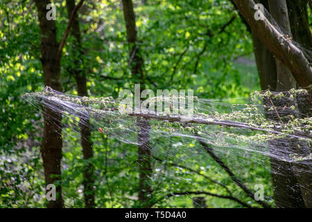 Winter moth caterpillar (Operophtera brumata) are a looper caterpillar and spin silk threads across forest, destroying the leaves and foilage of usual - Stock Image