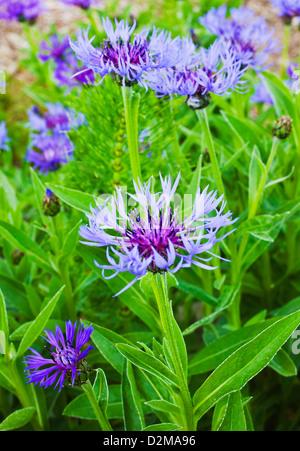 cornflowers - Stock Image