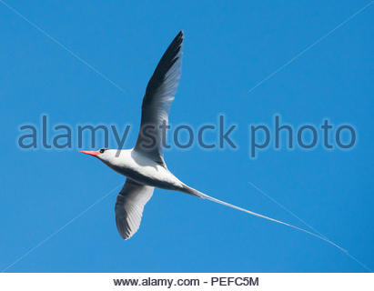 A red-billed tropic bird flying. - Stock Image
