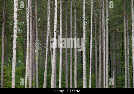 Thick, straight, pine forest. - Stock Image