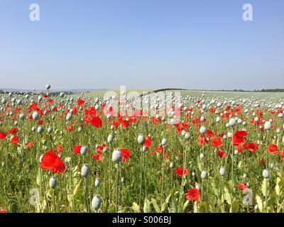 Poppy field in summertime. - Stock Image