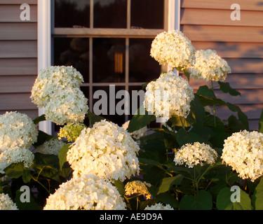 Hydrangea bush in Vermont garden - Stock Image