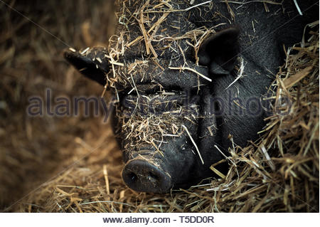A pot-bellied pig - Stock Image