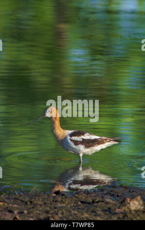 American Avocet (Recurvirostra americana) wading for aquatic food-insects/crustaceans near shore of pond, Aurora Colorado US. Photo taken in July. - Stock Image