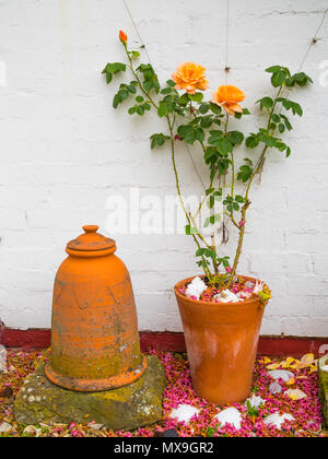 A spring garden corner with terracotta flowerpot and a rhubarb forcer with climbing rose 'Schoolgirl' in first flowering - Stock Image