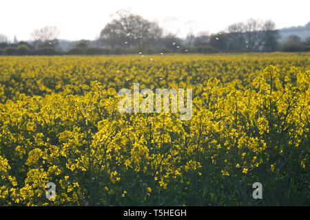 A group of midges flying over a field in Warwickshire, UK. 11 April 2019. - Stock Image
