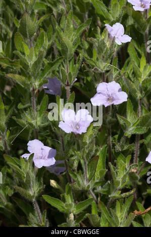 Fringeleaf Wild Petunia, Plains Petunia (Ruellia humilis), flowering plants. - Stock Image
