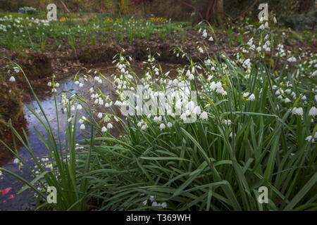 Leucojum aestivum (summer snowflake or Loddon lily) flowering in spring in RHS Gardens, Wisley, Surrey, south-east England, UK - Stock Image