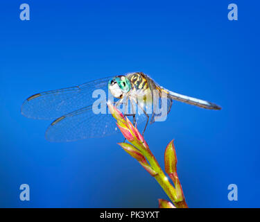 A Blue Dasher Dragonfly stops for a moment on a flower stem in the Florida Everglades. - Stock Image