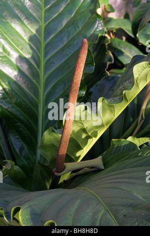 Anthurium jenmanii, Araceae, Trinidad-Tobago to Brazil, Surinam, Venezuela, South America. Syn A. englerianum, A. - Stock Image