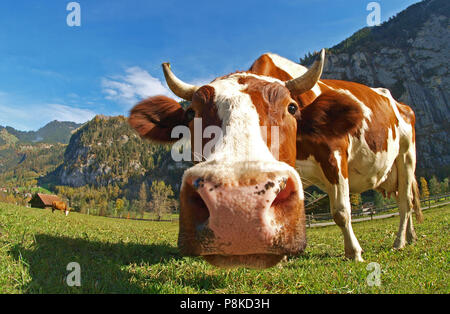 Swiss cow - Stock Image