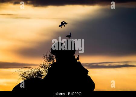 Gulls perched on a rock at sunset; Garibaldi, Oregon, United States of America - Stock Image