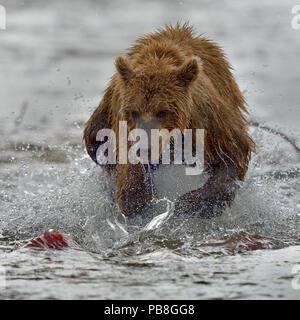 Grizzly bear (Ursus arctos horribilis) trying to catch Sockeye salmon, Katmai National Park, Alaska, USA, August. - Stock Image