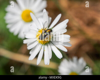 A metalic fly on a daisy wild flower - Stock Image