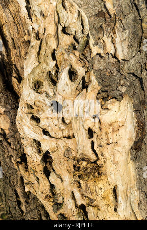 Holes in rotten tree trunk - Stock Image
