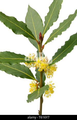 Twig of flowering bay laurel close up and isolated on white background - Stock Image