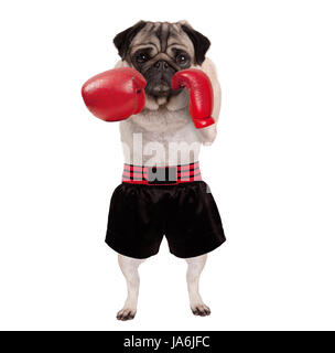 cool standing pug dog boxer punching with red leather boxing gloves and shorts, isolated on white background - Stock Image