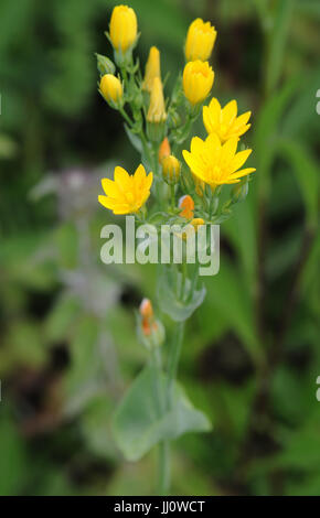 Yellow-wort (Blackstonia perfoliata) grows on alkaline gypsum covered tracks in an otherwise acid environment. Bedgebury - Stock Image