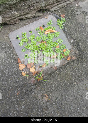 Weeds growing in a blocked drain in an urban environment. - Stock Image