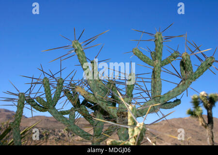 Opuntia ramosissima. Branched Pencil Cholla. - Stock Image