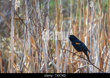 Male Red-winged Blackbird at rest (Agelaius phoeniceus) calling in spring cattail marsh, Castle Rock Colorado US. Photo taken in April. - Stock Image