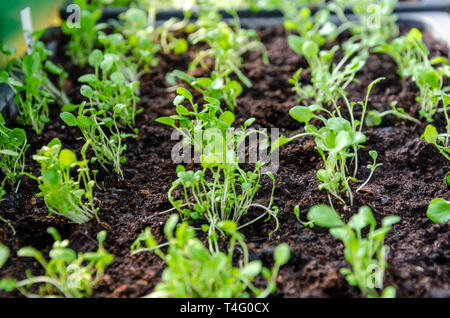 Transplanted seedlings growing in a seed tray. Cultivated at home by a keen gardener. - Stock Image