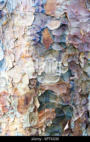 Mottled tree bark texture of a London plane common throughout the capital city in England - Stock Image