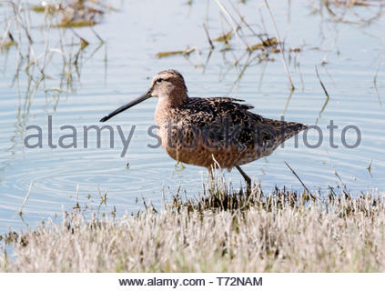 Long-billed Dowitcher, Limnodromus scolopaceus, standing on edge of pond in Arizona USA - Stock Image