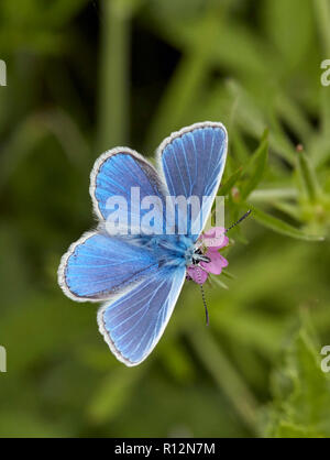 Common Blue male on Crane's-bill flower. Hurst Meadows, East Molesey, Surrey, England. - Stock Image