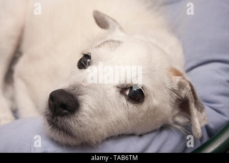 Jack Russell Terrier, Elderly white male, Lying in bed, England, UK - Stock Image