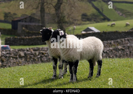 two Swaledale Dalesbred lambs, Swaledale, Yorkshire Dales, England - Stock Image