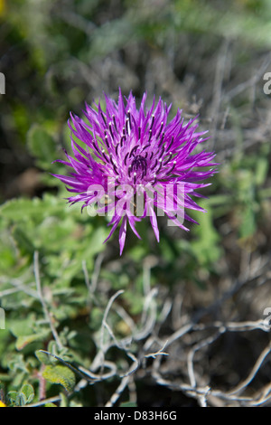 Knapweed (Centaurea vicentina) flowers on Rota Vicentina coastal walk from Monte Clerigo to Arrifana near Aljezur - Stock Image