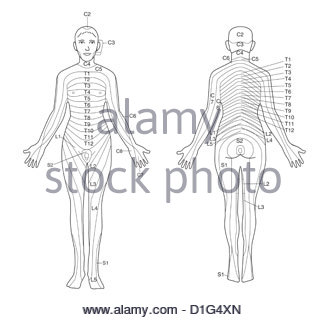 ILLUSTRATION - DERMATOMES - Stock Image