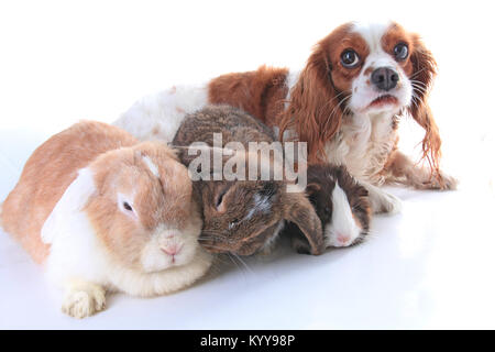 Animals together. Real pet friends. Rabbit dog guinea pig animal friendship. Pets loves each other. Cute lovely - Stock Image