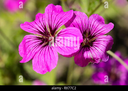 botany, Armenian cranesbill (Geranium psilostemon), Additional-Rights-Clearance-Info-Not-Available - Stock Image