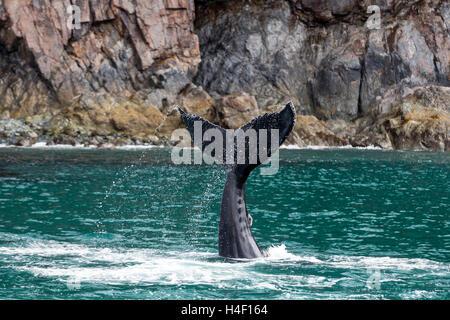 Humpback whale fluke, Kenai fjords, Seward, Alaska - Stock Image