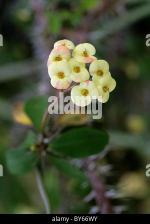 Euphorbia milii var. imperatae, Euphorbiaceae, Madagascar, Africa. - Stock Image
