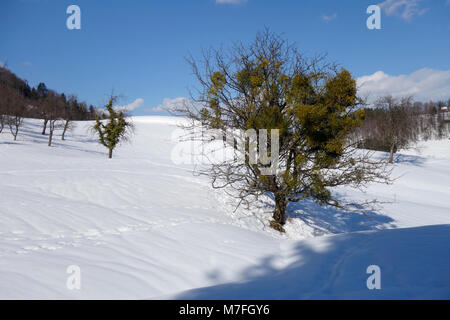 The trees heavily infested with mistletoe. - Stock Image