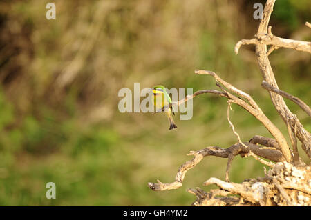 zoology / animals, birds (Aves), Little Bee Eater (Merops pusillus) from the family of the European Bee-eater, Serengeti - Stock Image