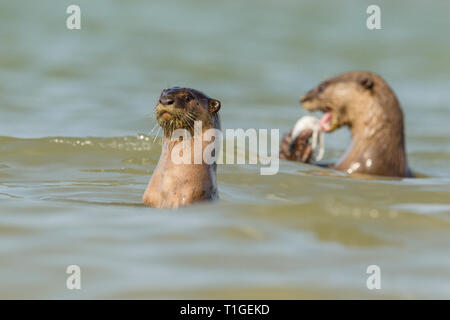 Smooth coated otter eating freshly caught fish from the sea in Singapore - Stock Image