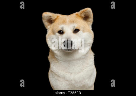 Portrait of Cute Akita Inu Dog, gazing on Isolated Black Background, front view - Stock Image