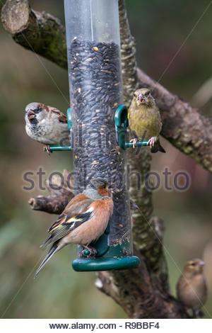Chaffinch (Fringilla coelebs) on seed feeder, Dumfries & Galloway, Scotland, UK, - Stock Image