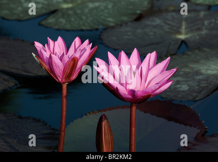 Pink water lillies in a pond - Stock Image
