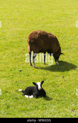 Zwartble lamb and ewe in a field in north-west England. Zwartbles originated as a sheep breed in the Friesland region of the Netherlands. From being l - Stock Image