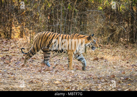 Side view, full length of a female Bengal Tiger, Panthera tigris tigris, walking in the Bandhavgarh Tiger Reserve, Madhya Pradesh, India - Stock Image