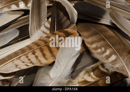 Close up of a collection of bird feathers from birds of prey and others - Stock Image
