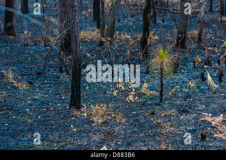 Life After Death, A pine seedling spouting up from the ashes after a fire swept through this forest. - Stock Image