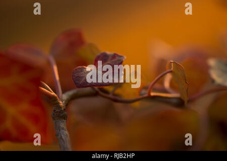 Ivy Leaves in autumn colors, nature background - Stock Image